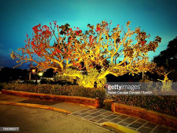 trees against clear sky - carvajal stock photos and pictures