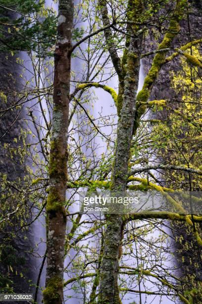 trees against latourell falls - don smith ストックフォトと画像