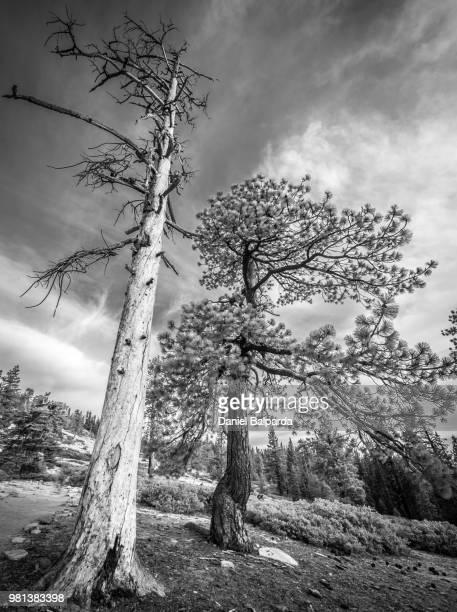 Trees against sky, Taft Point, Yosemite National Park, California, USA