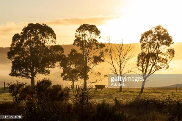 trees and cow in the country on a foggy sunrise - rustic stock pictures, royalty-free photos & images