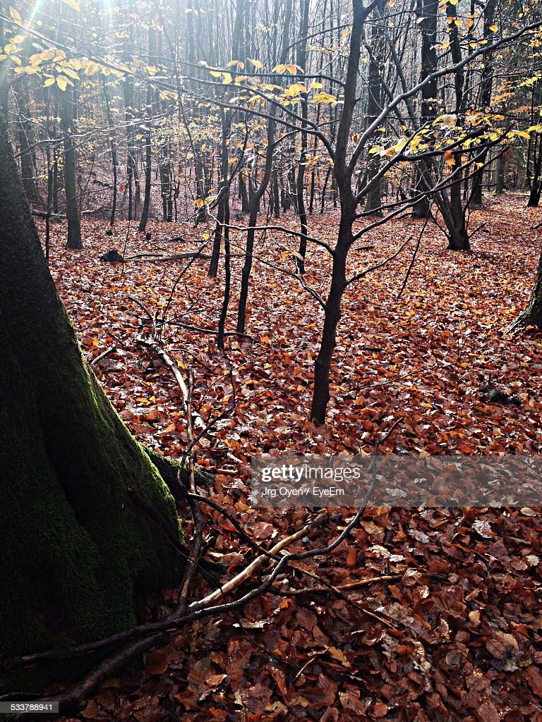 Trees And Fallen Leaves In Forest During Autumn : Foto stock