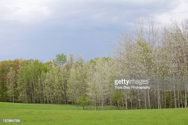 Trees and green field in spring