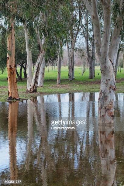 trees and reflections on a pond in a public park. - emreturanphoto stock pictures, royalty-free photos & images