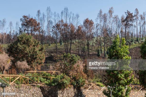 Trees are recuperating their green four months after the forest fire on October 06 2017 in Vila Facaia Portugal Pedrogao Grande municipality suffered...