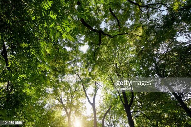 trees at backlight seen from below - kruin stockfoto's en -beelden