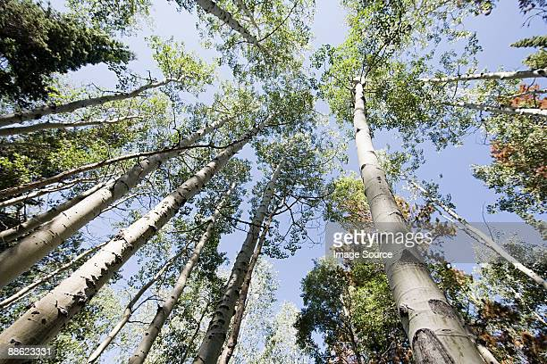 trees at beaver creek - beaver creek colorado stock pictures, royalty-free photos & images