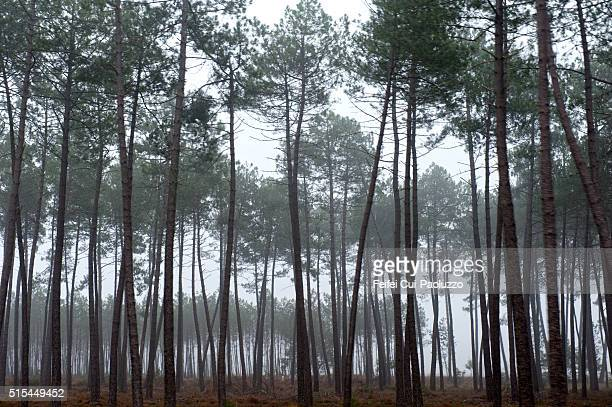 Trees at Mimizan of Landes department in France