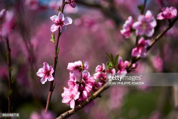 Trees blossom in an orchard of nectarine peaches and apricot trees in the Drome valley near Valence southeastern France on March 17 2017 As the...