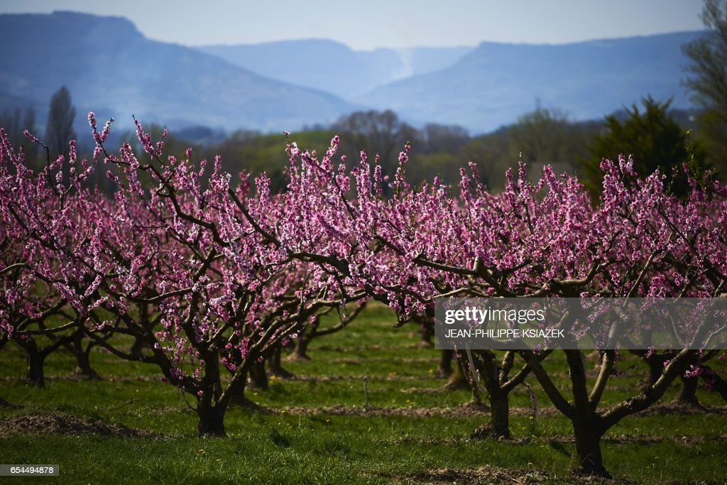 FRANCE-AGRICULTURE-FRUITS-ORCHARDS-SPRING-WEATHER-FEATURE : News Photo