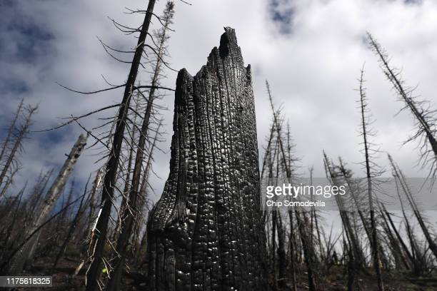 Trees burned by the 2017 Sprague Creek Fire stand along the steep Mount Brown Lookout Trail September 17 2019 in Glacier National Park Montana A US...