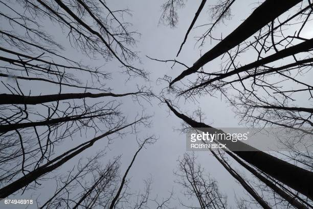 Trees burnt one year ago in a devastating fire are seen near a residential neighborhood of Fort McMurray Canada April 18 2017 A few lateseason...