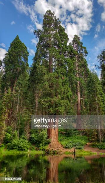 trees by lake in forest against sky - sequoia national park stock pictures, royalty-free photos & images