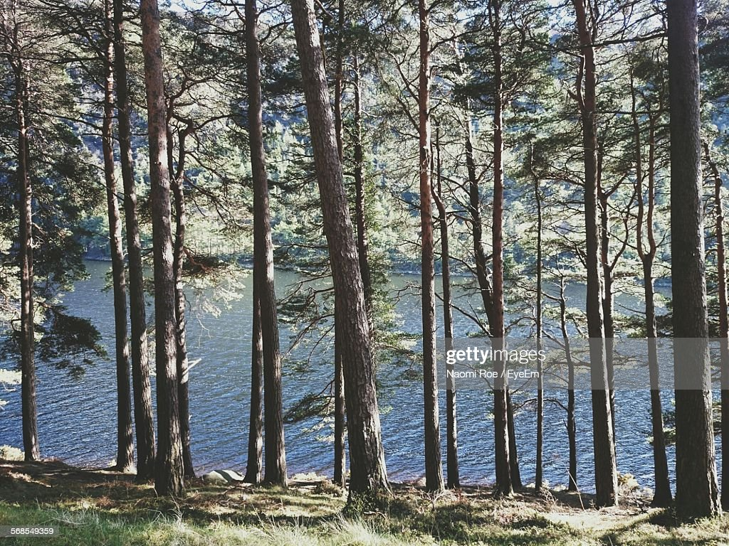 Trees By Lake In Forest : Stock Photo