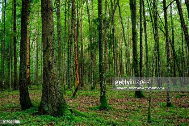 trees covered in moss and lichens in bialowieza forest, poland - bialowieza forest imagens e fotografias de stock