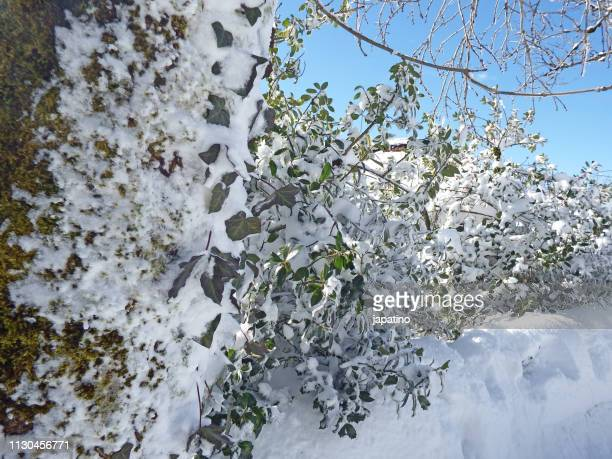 trees covered in moss and snow - arbusto stock pictures, royalty-free photos & images