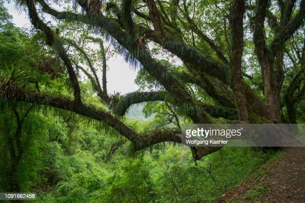 Trees covered with bromeliads and ferns in the neotropical Yungas Cloud forest in the foothills of the Andes Mountains near Salta, Argentina.