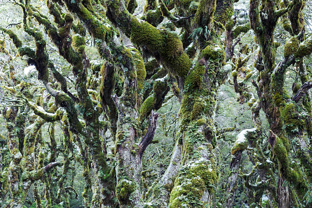 Trees Covered With Moss And Frost, New Zealand Wall Art