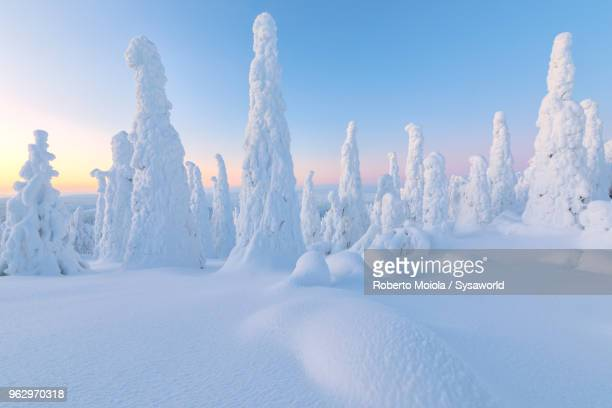 trees covered with snow at dawn, riisitunturi national park, posio, lapland, finland - finlandia fotografías e imágenes de stock