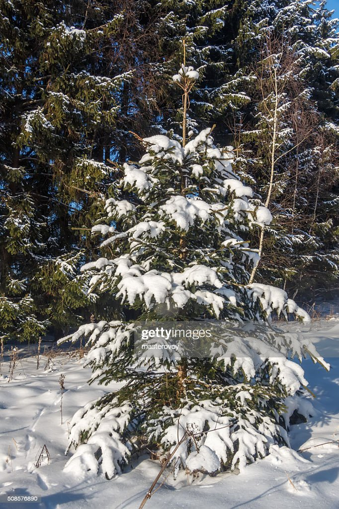 Trees (spruce) covered with snow : Stock Photo