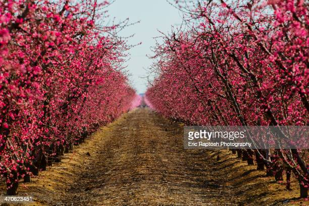 Trees flowering in orchard
