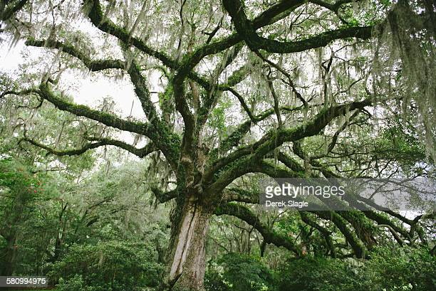 trees from the southern plantation - boone hall plantation stock pictures, royalty-free photos & images