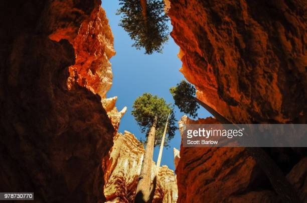 trees growing between rocks, bryce canyon national park, utah, usa - bryce canyon stock pictures, royalty-free photos & images