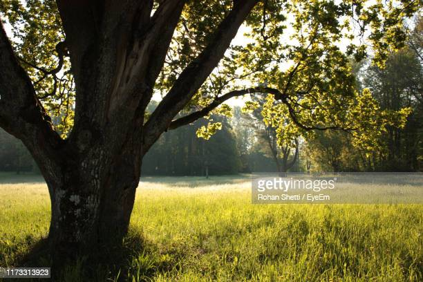 trees growing in field - bialowieza forest stock pictures, royalty-free photos & images