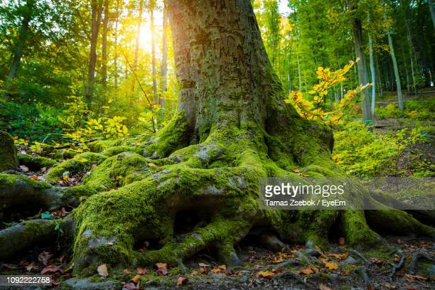 trees growing in forest during autumn - tree roots stock pictures, royalty-free photos & images