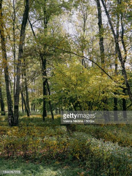 trees growing in forest during autumn,russia - nikitina stock pictures, royalty-free photos & images