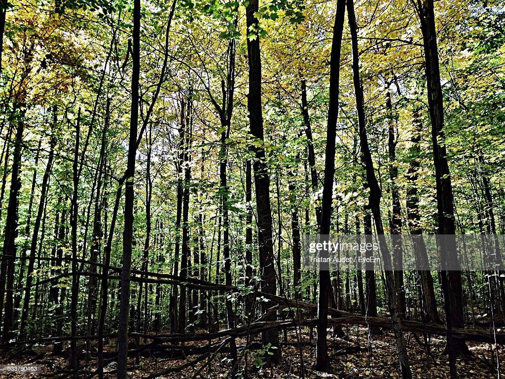 Trees Growing In Forest : Foto stock