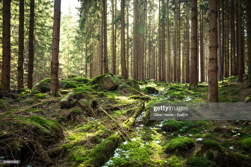 Trees Growing In Forest : Stock-Foto