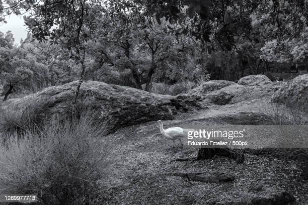 trees growing in forest, plasencia, spain - blanco y negro stock pictures, royalty-free photos & images