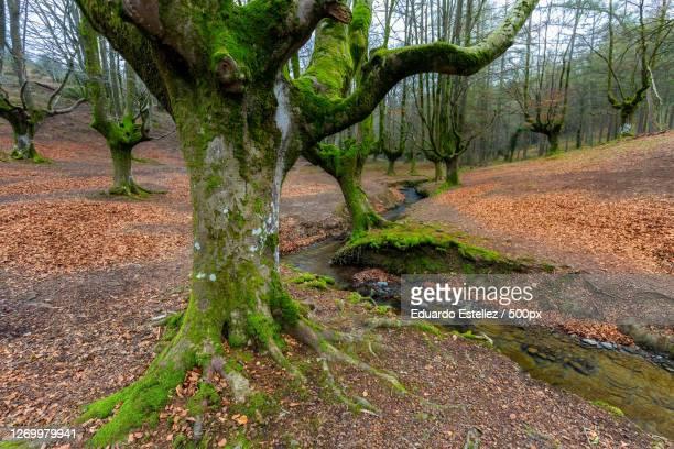 trees growing in forest, ubide, spain - アラバ県 ストックフォトと画像