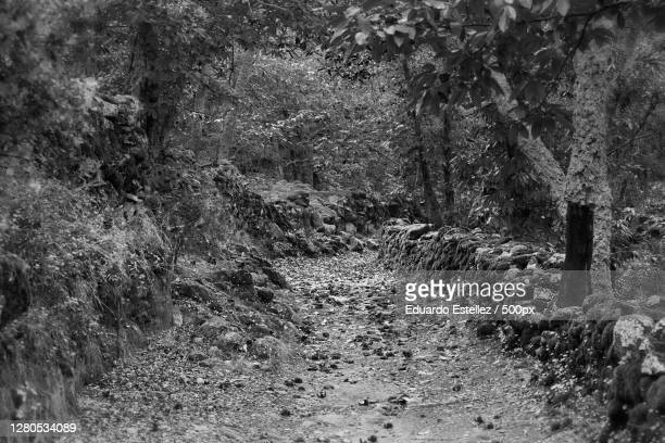 trees growing in forest,extremadura,spain - blanco y negro stock pictures, royalty-free photos & images