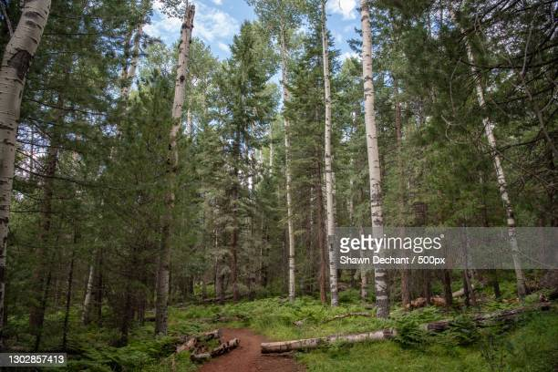 trees growing in forest,flagstaff,arizona,united states,usa - arizona stock pictures, royalty-free photos & images