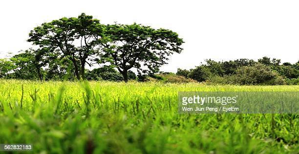 trees growing on grassy field against clear sky - focus on background ストックフォトと画像