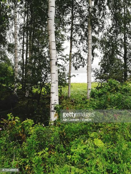 trees growing on grassy field - jyväskylä stock photos and pictures