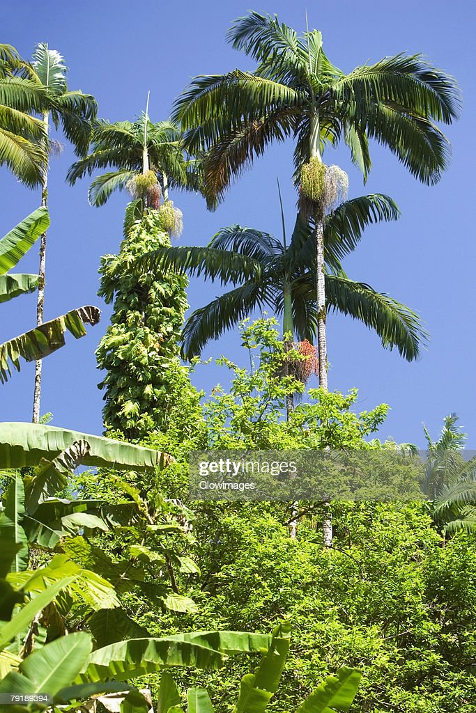 Trees in a forest, Hawaii Tropical Botanical Garden, Hilo, Big Island, Hawaii Islands, USA : Foto de stock