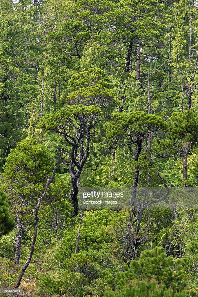 Trees in a forest : Stockfoto
