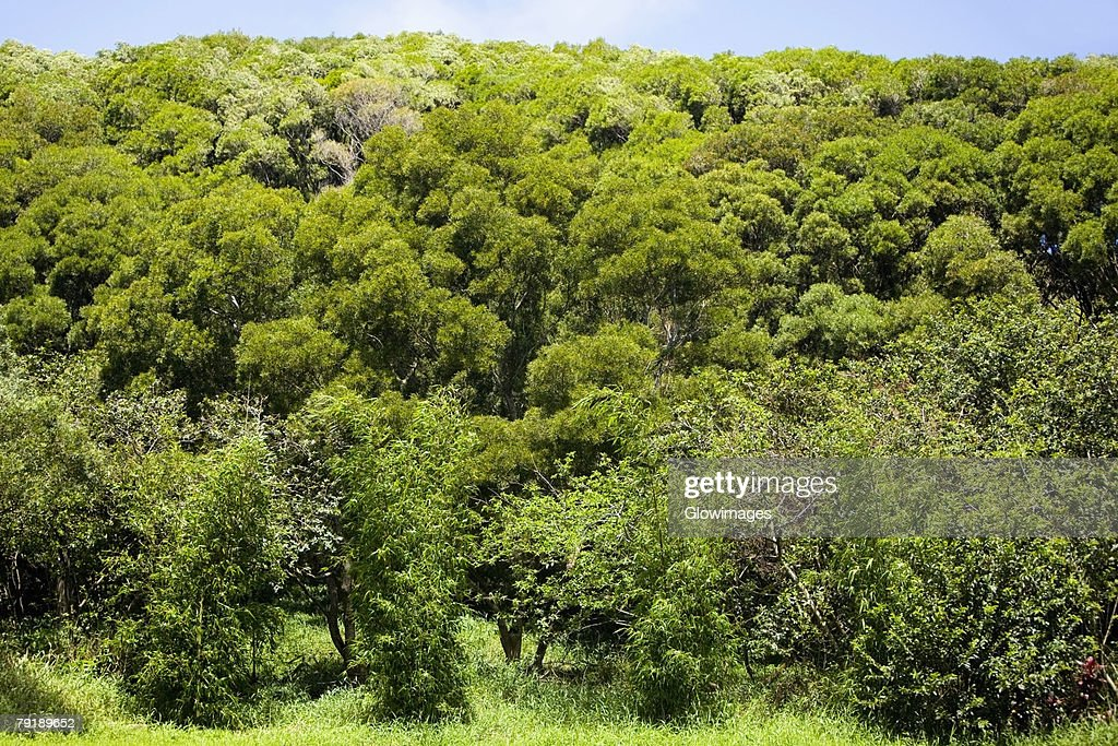 Trees in a forest, Twin Falls, Maui, Hawaii Islands, USA : Foto de stock