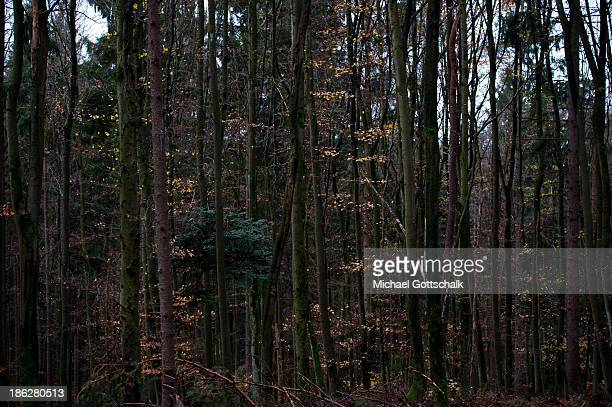 Trees in a mixed forest during autumn on October 29 2013 in Markt Beratzhausen Germany