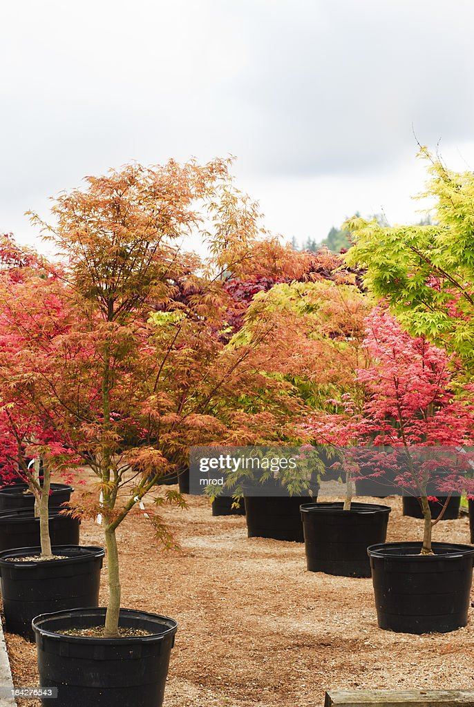 Trees in a Nursery : Stock Photo