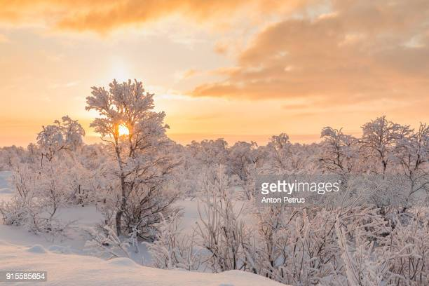 Trees in a strong winter frost at sunset
