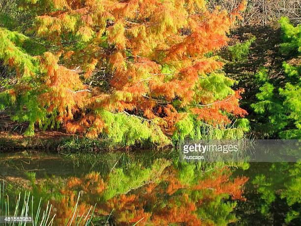 Trees in autumn colour Emu Valley Rhododendron Gardens Burnie Tasmania Australia