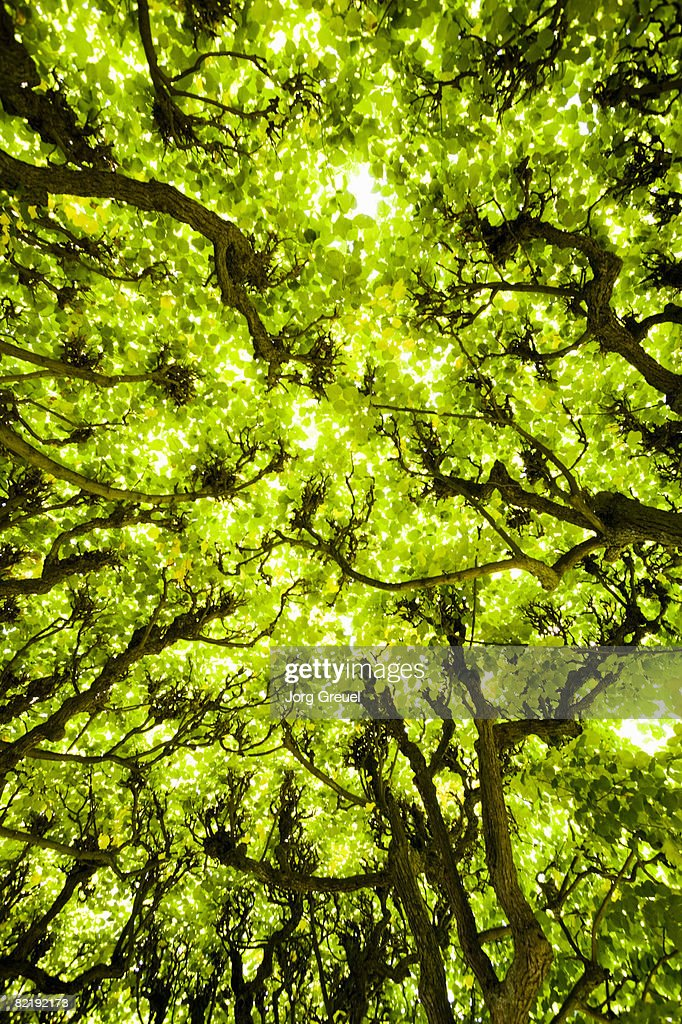 Trees in avenue : Stock Photo