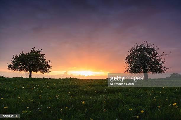 trees in blossom at sunset - feuille de pissenlit photos et images de collection