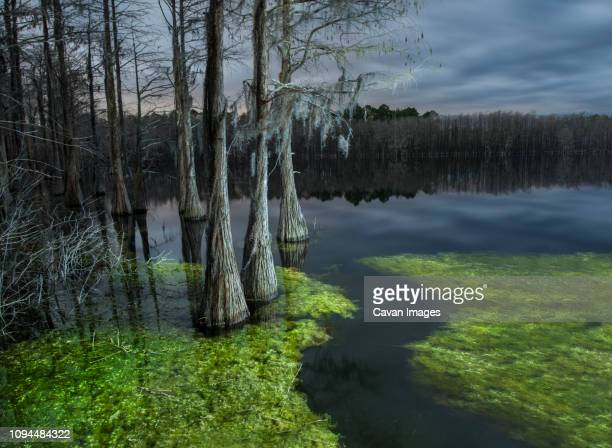 trees in cypress swamp at pine log state forest during dusk - pine log state forest stock photos and pictures