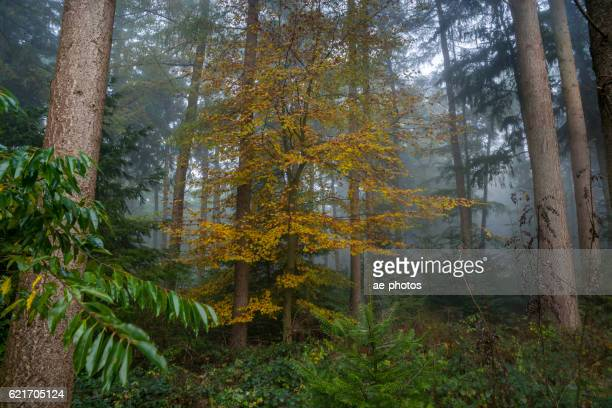 Trees in dark and misty autumn forest
