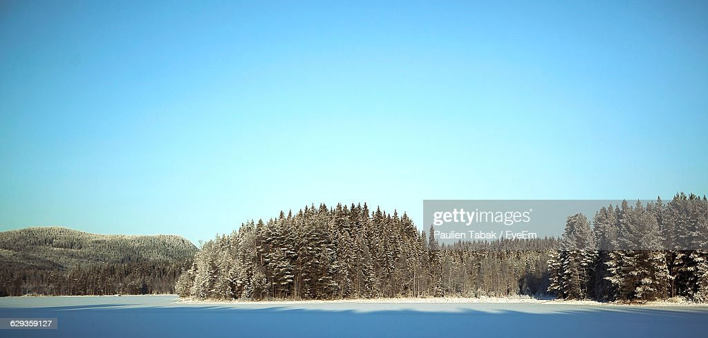 Trees In Forest Against Clear Sky During Winter : ストックフォト