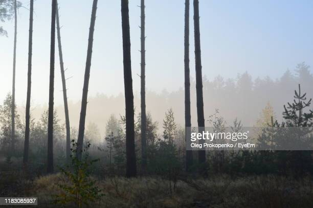 trees in forest against sky during foggy weather - oleg prokopenko stock pictures, royalty-free photos & images